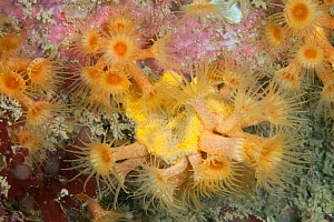 Yellow Cluster Anemone (Parazoanthus axinellae) Guillaumesse, Sark, British Channel Islands. - Sue Daly