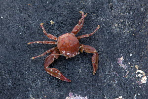 Long clawed porcelain crab (Pisidia longicornis) on seashore, Sark, British Channel Islands. - Sue Daly