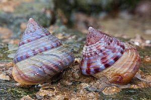 Painted top shell (Calliostoma zizyphinum) on seashore, Sark, British Channel Islands.  -  Sue Daly