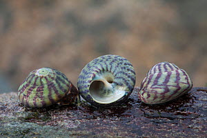 Purple Topshell (Gibbula umbilicalis) sea shells on beach, Sark, British Channel Islands.  -  Sue Daly