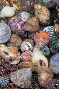 Mixed seashells on beach in Sark, British Channel Islands.  -  Sue Daly