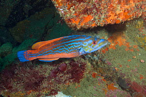 Cuckoo wrasse (Labrus mixtus) male, Guillaumesse, Sark, British Channel Islands.  -  Sue Daly