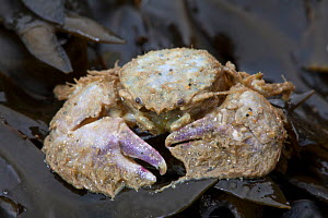 Broad-clawed Porcelain Crab (Porcellana platycheles) washed up on beach, Sark, British Channel Islands. - Sue Daly