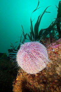 Common Sea Urchin (Echinus esculentus) The Isles of Scilly.  -  Sue Daly