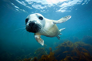 Atlantic Grey Seal (Halichoerus grypus) approaching camera with curiosity, The Isles of Scilly.  -  Sue Daly