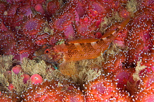 Black faced blenny (Tripterygion delaisi) Guillaumesse, Sark, British Channel Islands.  -  Sue Daly