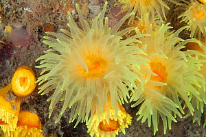 Sunset cup coral (Leptopsammia pruvoti) Guillaumesse, Sark, British Channel Islands. - Sue Daly