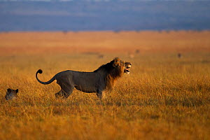 Male African lion (Panthera leo) showing 'Fleman' gesture and marking his territory with his back legs. Maasai Mara National Reserve, Kenya. Feb 2012.  -  Anup Shah