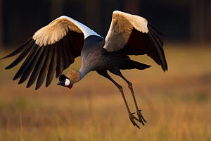 Grey crowned-crane (Balearica regulorum) landing.  Maasai Mara National Reserve, Kenya. Jan 2012.  -  Anup Shah
