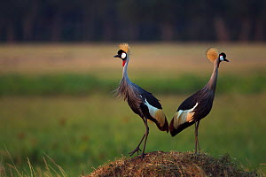 Grey crowned-crane pair (Balearica regulorum). Maasai Mara National Reserve, Kenya. Feb 2012.  -  Anup Shah