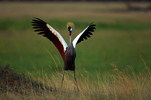 Grey crowned-crane (Balearica regulorum) displaying. Maasai Mara National Reserve, Kenya. Feb 2012.  -  Anup Shah