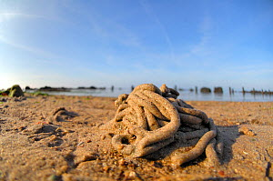 Lugworm (Arenicola marina) cast on beach, on beach of Wadden sea, Heligoland, Germany, June.  -  Solvin Zankl
