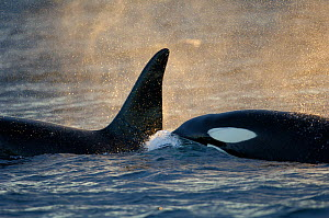 Orcas (Orcinus orca) at surface whilst feeding on herring in the Tysfjord area, Norway, November.  -  Solvin Zankl