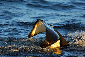 Orcas (Orcinus orca) tail surface whilst feeding on herring in the Tysfjord area, Norway, November.  -  Solvin Zankl
