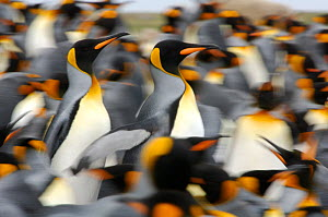King penguins (Aptenodytes patagonicus) colony, Antarctica - Solvin Zankl