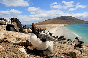 Rockhopper penguins (Eudyptes chrysocome) parent sheltering chick from the sun,  Argentina.  -  Solvin Zankl