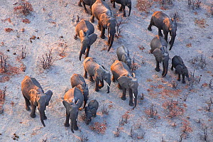 Aerial view of African elephant family (Loxodonta africana) travelling through parched landscape during drought conditions, Northern Botswana. Taken on location for BBC Planet Earth series, October 20...  -  Ben Osborne