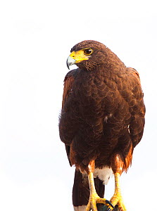 Harris's hawk (Parabuteo unicinctus), South Texas, USA, February. Meetyourneighbours.net project.  -  MYN / Krista Schlyer
