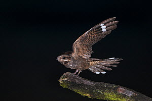 European Nightjar (Caprimulgus europaeus) male on song perch, Norfolk, England, UK. July. - David Tipling