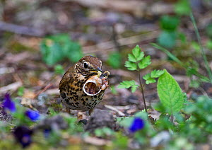 Song Thrush (Turdus philomelous) with snail in garden, Norfolk, England, UK, May. - David Tipling