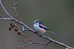 Long-tailed Tit (Aegithalos caudatus) in garden, Norfolk, England, UK, December. - David Tipling