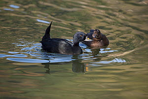 Common Scoter (Melanitta nigra) male displaying to female, Captive, native to Europe and Asia.  -  David Tipling