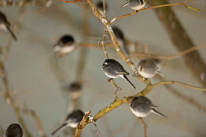 Roost of around 800 Pied Wagtails (Motacilla alba) in trees outside Terminal 5 Heathrow, London, UK. December.  -  David Tipling