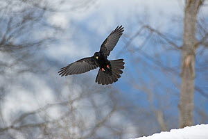 Alpine Chough (Pyrrhocorax graculus) Bernese Alps, Switzerland.  -  David Tipling