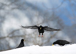 Alpine Chough (Pyrrhocorax graculus) landing, Bernese Alps, Switzerland.  -  David Tipling