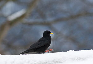 Alpine Chough (Pyrrhocorax graculus) on ground, Bernese Alps, Switzerland.  -  David Tipling