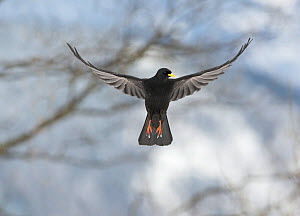 Alpine Chough (Pyrrhocorax graculus) in flight, Bernese Alps, Switzerland.  -  David Tipling