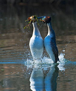 Great-crested grebe (Podiceps cristatus) performing weed dance as part of courtship display, Lake Geneva, Switzerland, March. - David Tipling