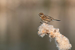 Reed Bunting (Emberiza schoeniclus) female on Reed mace seed head, Cley Marshes Reserve, Norfolk, England, UK. March  -  David Tipling