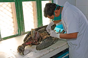 Project veterinarian for the Bombay Natural History Society, Dr Devojit Das, conducting a post-mortem examination on the corpse of an Oriental white-backed vulture (Gyps bengalensis) at the Vulture Co... - Chris Gomersall