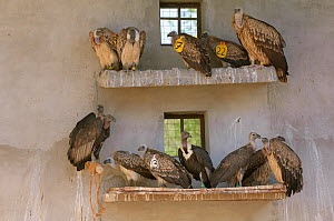 Long-billed vultures (Gyps indicus), Oriental white-backed vultures (Gyps bengalensis) and Himalayan griffon vulture (Gyps himalayensis) in captivity at the Vulture Conservation Breeding Centre near P... - Chris Gomersall