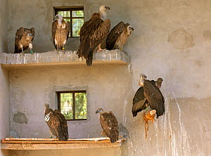 Long-billed vultures (Gyps indicus) and Himalayan griffon vulture (Gyps himalayensis) in captivity at the Vulture Conservation Breeding Centre near Pinjore in Haryana, India. March 2005. - Chris Gomersall
