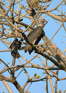 Wild oriental white-backed (Gyps bengalensis) adult being mobbed by large-billed crow (Corvus macrorhynchos) in Haryana, India. March - Chris Gomersall