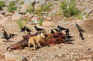 Carcass of cow with scavenging Thick billed crows (Corvus macrorhynchos) and feral dog. Haryana, India. March 2005. The population crash of wild vultures in the Indian subcontinent has caused concerns... - Chris Gomersall