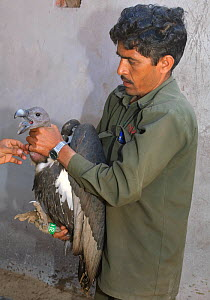 Oriental white-backed vulture (Gyps bengalensis) about to be examined by veterinarian, in captivity at the Vulture Conservation Breeding Centre near Pinjore in Haryana, India, March 2005. - Chris Gomersall