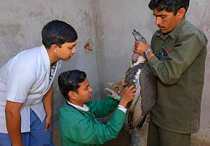 Project veterinarian for the Bombay Natural History Society, Dr Devojit Das (centre), examining an oriental white-backed vulture (Gyps bengalensis) at the Vulture Conservation Breeding Centre near Pin... - Chris Gomersall