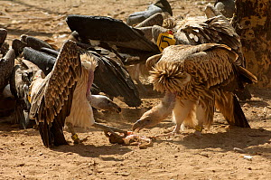 Long-billed vultures (Gyps indicus) and oriental white-backed vultures (Gyps bengalensis) feeding on clean goat meat, captive, Vulture Conservation Breeding Centre near Pinjore in Haryana, India. Marc... - Chris Gomersall