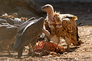Himalayan griffon vulture (Gyps himalyensis) and oriental white-backed vulture (Gyps bengalensis) feeding on clean goat meat, captive, Vulture Conservation Breeding Centre near Pinjore in Haryana, Ind... - Chris Gomersall