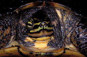 Annam Leaf Turtle (Mauremys annamensis) portrait, captive. Critically endangered. Endemic to Vietnam.  -  Roland  Seitre