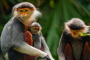 Red-shanked douc langur (Pygathrix nemaeus) with baby, captive at Singapore Zoo. Endangered species. Native to South East Asia.  -  Roland  Seitre
