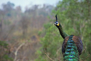 Male Green peafowl (Pavo muticus) rear view, captive. Vulnerable species. Native to South East Asia.  -  Roland  Seitre