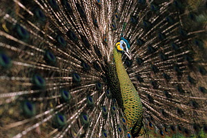 Green peafowl (Pavo muticus) male displaying tail, captive. Vulnerable species. Native to South East Asia.  -  Roland  Seitre