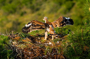 Spanish Imperial Eagle (Aquila adalberti) chick stretching wings at nest in pine tree, near Jaen, Andujar, Sierra Morena, Andalucia, Spain.  -  Roland  Seitre