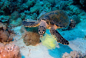 Hawksbill Turtle (Eretmochelys imbricata) with plastic bag, Red Sea, south of Safaga, Egypt.  -  Roland Seitre