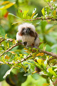 Cotton-top tamarin (Saguinus oedipus) captive at Cali Zoo, Valle del Cauca, Colombia. Endemic to Colombia. Critically endangered species.  -  Roland Seitre