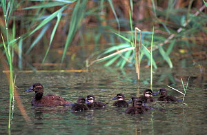 White-headed duck (Oxyura leucocephala) female with chicks, captive native to Spain, North Africa and central Asia. - Roland Seitre